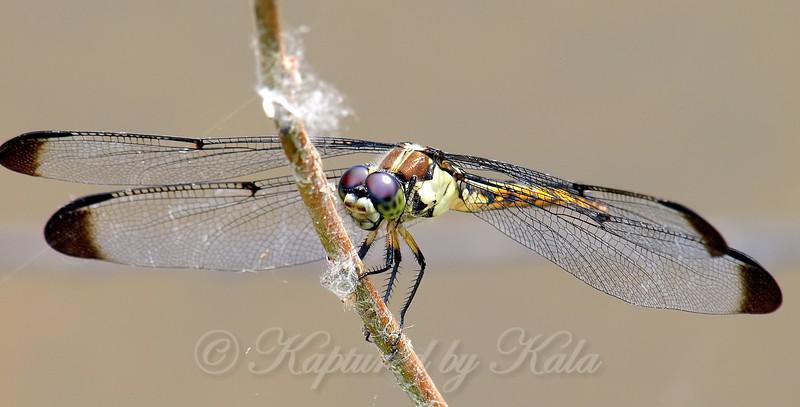 Female Great Blue Skimmer