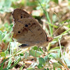 Common Buckeye With Closed Wings