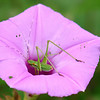Bush Katydid In A Wild Morning Glory