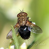 Another New Fly Species