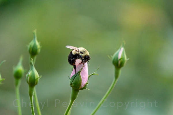 Bumble Bee and Rosebud