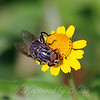 Female Palpada Hoverfly  On A Daisy