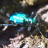 Tiger Beetle Face Shot