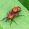 Cocklebur Weevils