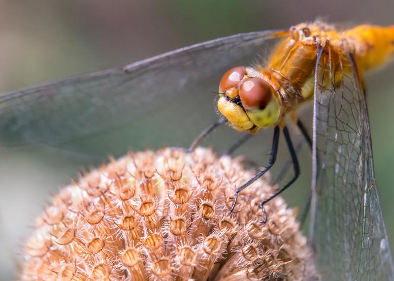 Dragonfly on Monarda