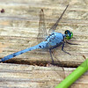 Eastern Pondhawk On The Pier