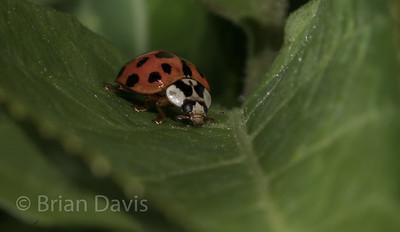 Harlequinn Ladybird