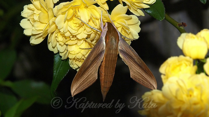 Close-up Of First Released Moth