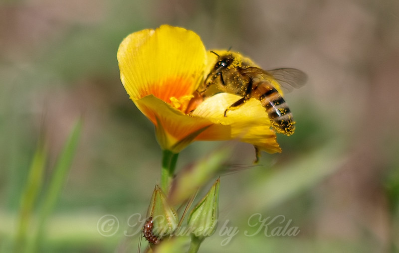 Yellow Flax with Honey Bee Plus A Photobomber