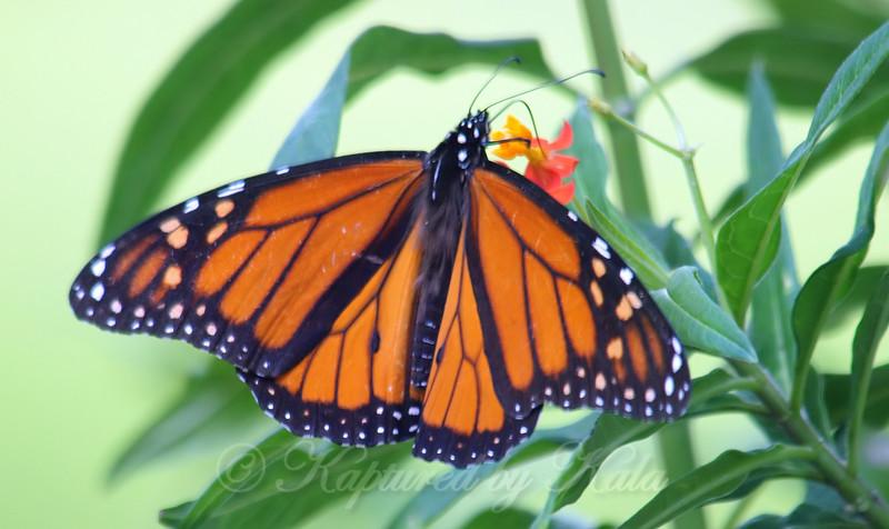Migrating Male Monarch