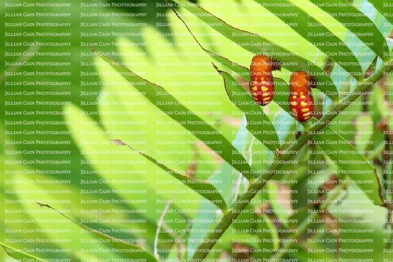 Two Atala chrysalis hanging from their host plant coontie