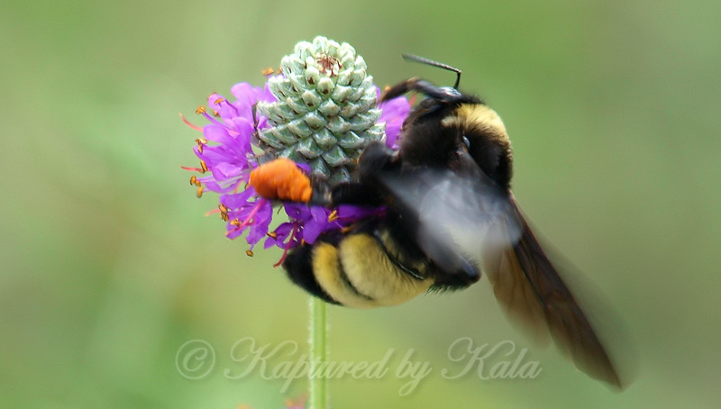 American Bumblebee On Purple Prairie Clover View 2