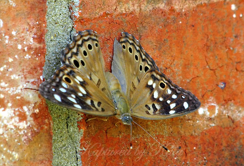 Hackberry Emperor With Wings Open