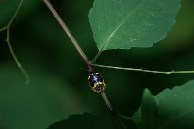 Acrosternum hilare (nymph) - Green Stinkbug nymph