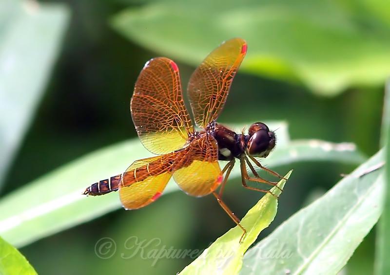 Male Eastern Amberwing