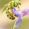 Brilliant Green Bee