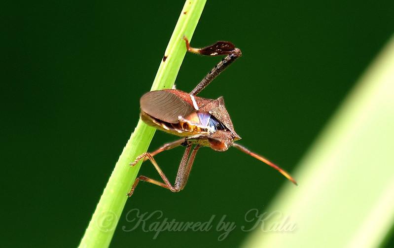 Eastern Leaf-footed Bug Rear View