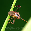 Eastern Leaf-footed Bug Rear View