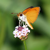Least Skipper On Turkey Tangle Frogfruit