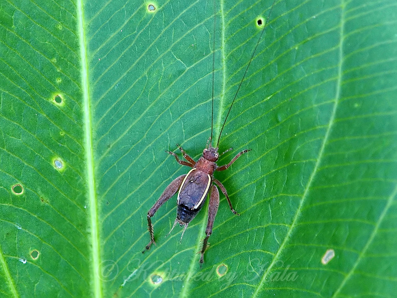 Restless Bush Cricket