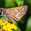 Female Sachem Skipper