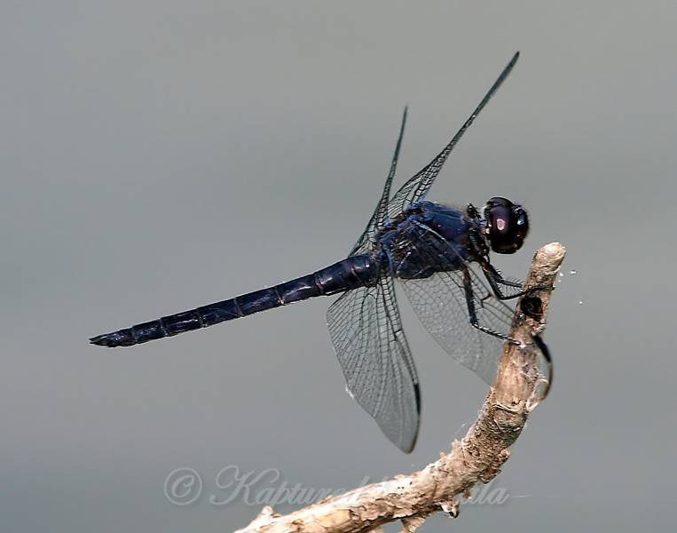 Side View Of A Male Slaty Skimmer