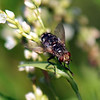 The Aptly Named Bristle Fly