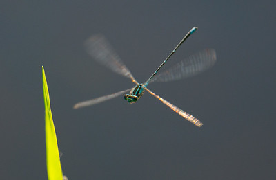 Damselfly coming in for a landing