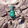 Tiger Beetle On A Tree Trunk