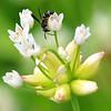 Rare Potter Wasp