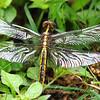 Female Widow Skimmer View 1