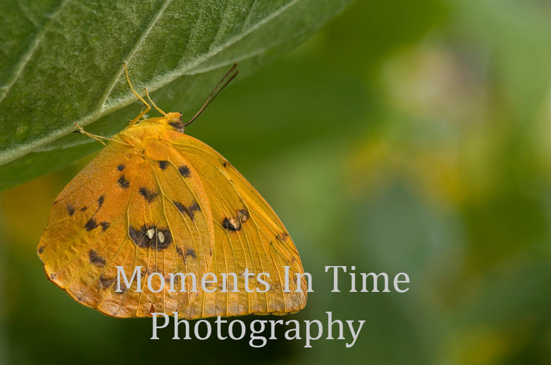 Sulphur butterfly hanging