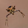 Gea Heptagon Orb Weaver Close Up