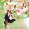 A Second Valley Carpenter Bee
