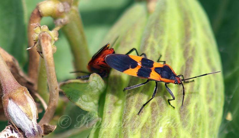 Male & Female Large Milkweed Bugs