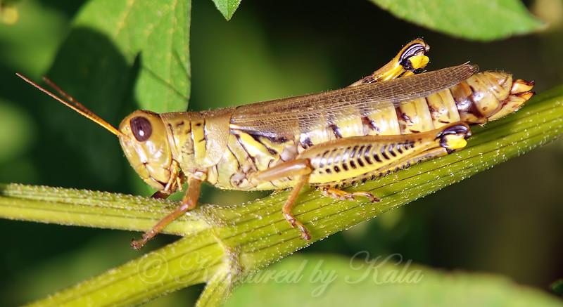 It's Grasshopper Season