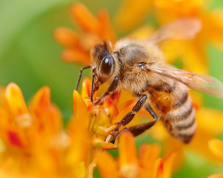 Honeybee At Work In A World Of Orange