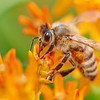 Honeybee At Work In A World Of Orange