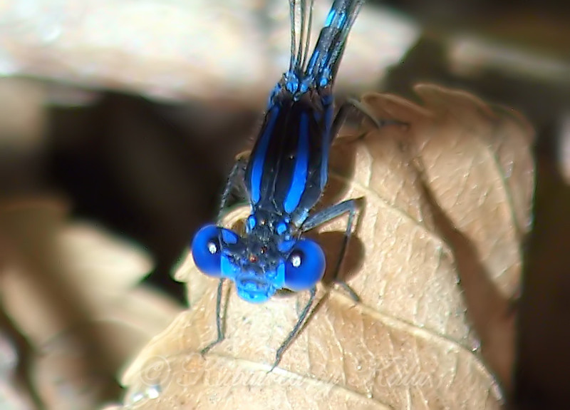 Blue-ringed Dancer Face Shot