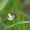 Flower Fly On American Waterwillow View 2