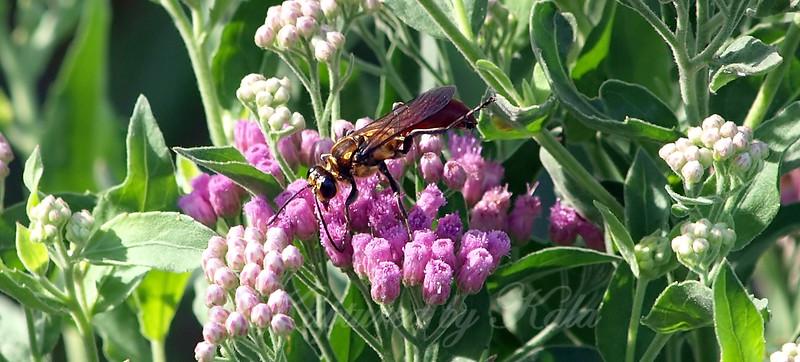 Male Golden Rein Wasp View 7