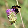 Bumble Bee On Purple Prairie Clover View 1