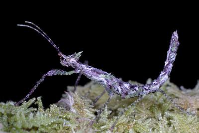 Antongilia sp