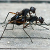 Complex Mating Rituals Of The Stilt-legged Fly  View 6