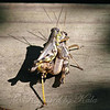 Male & Female Ponderous Spur-throat Grasshoppers