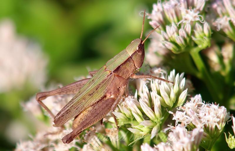 Short-winged Green Grasshopper Green Form