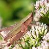 Short-winged Green Grasshopper Green Form