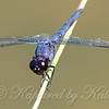 Slaty Skimmer Looking  Purple View 1