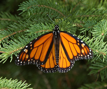 Monarch Butterfly on Pine Bough - Michigan
