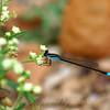 Andromorph Female Rambur's Forktail